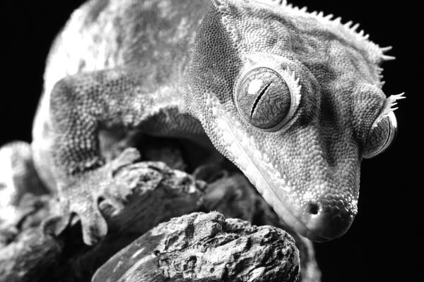 Gecko by danielharris83