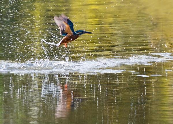 Kingfisher action by peterjones