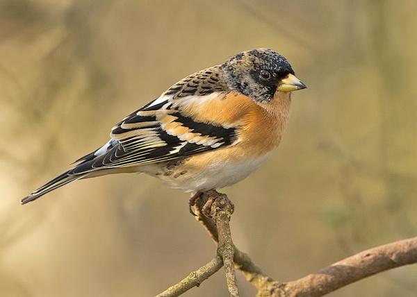 Male Brambling (Fringilla montifringilla) by DerekL