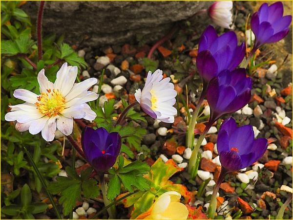 Daisies & Purple crocus by Mavis