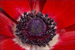 The Heart of an Anemone