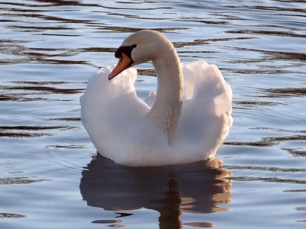 Sir Swan by chensuriashi