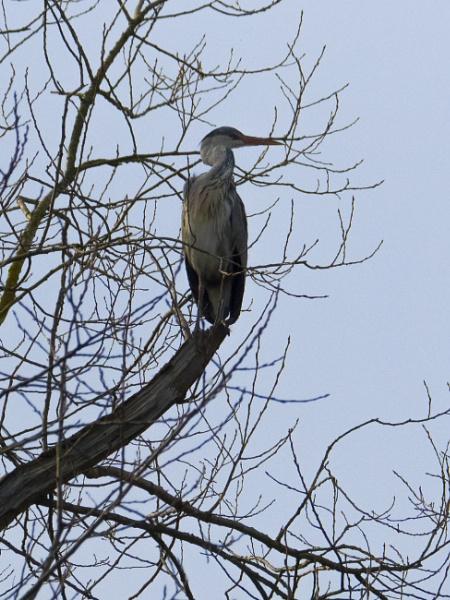 Herr Heron by chensuriashi