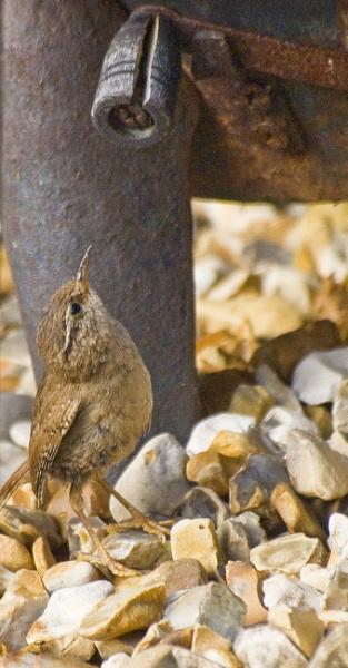 Jenny wren by andybebbs