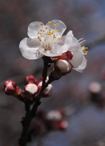 Spring Blossom by jdenman