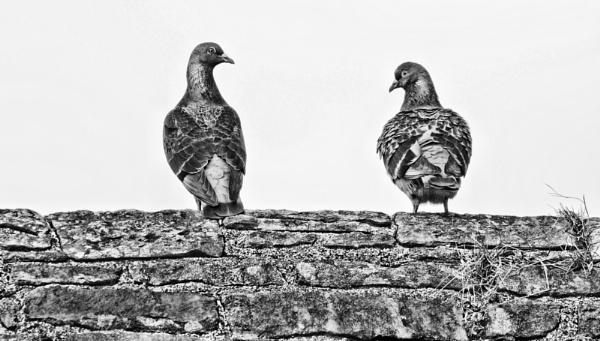 PIGEONS by stu8