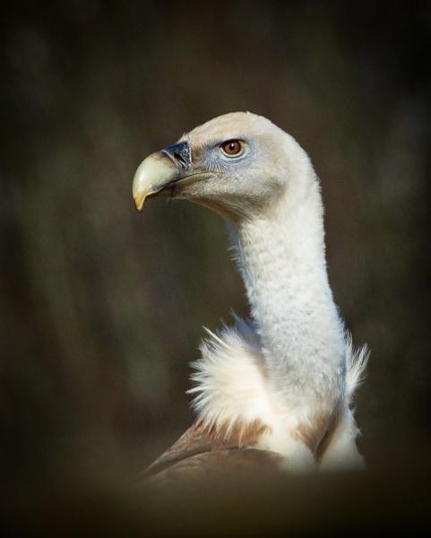 Griffon Vulture by brian1208
