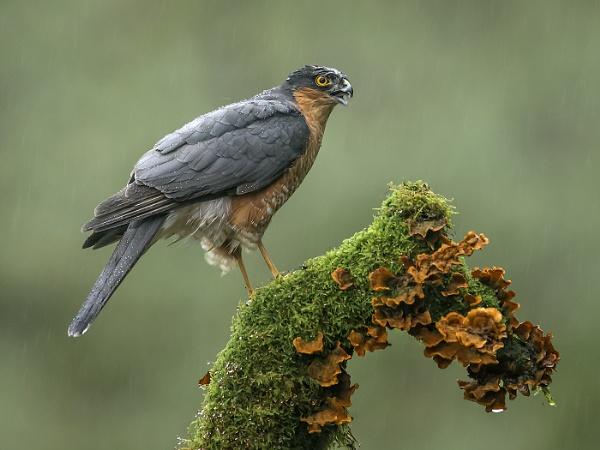 Sparrow-hawk in the Rain by Jamie_MacArthur