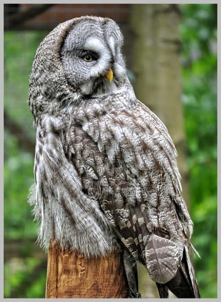 Ural Owl (1) by PhilT2