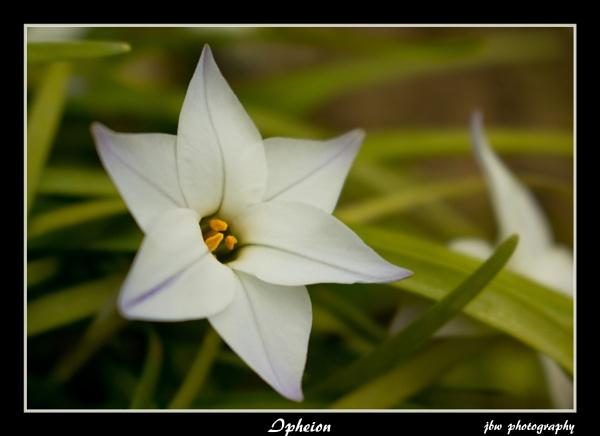 Ipheion by Jodyw17