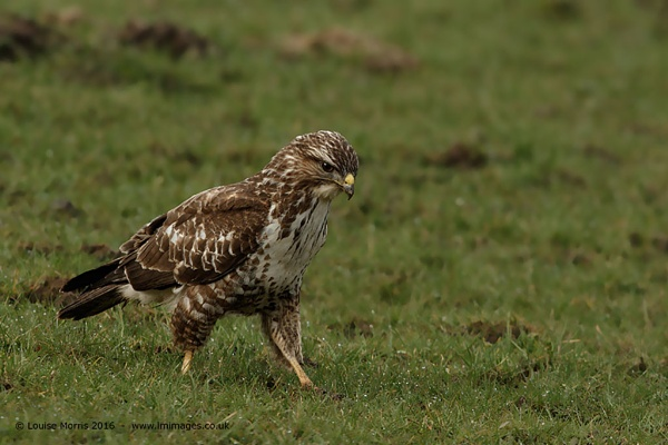Common Buzzard by Louise_Morris