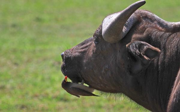 Ox Pecker feeding on a buffalo by pf