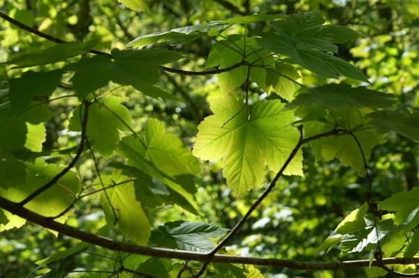Leafy canopy by Lightthouseman