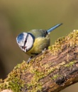 Blue Tit by grinningsoul2011
