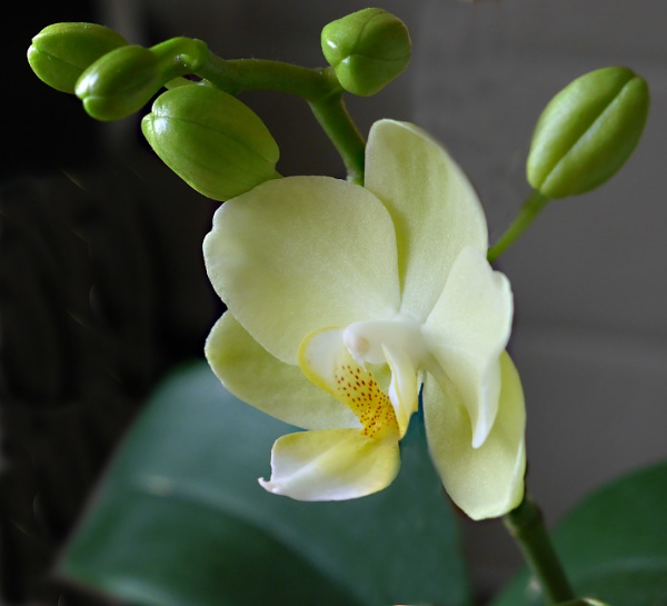 Bloomin Orchid by ecky