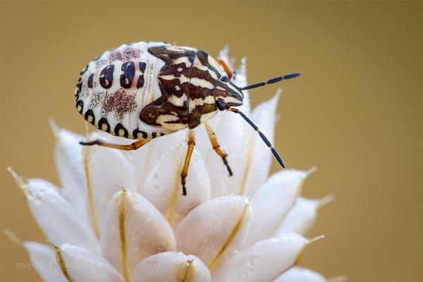 Shieldbug - Carpocoris pudicus by Mendipman