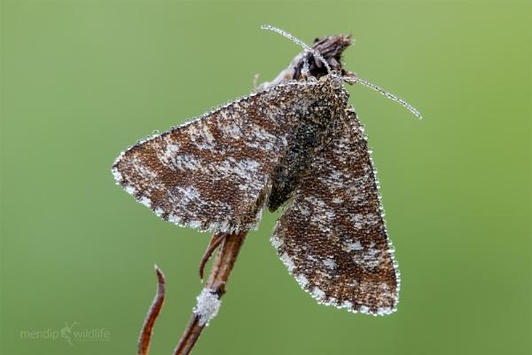 Common Heath Moth - Ematurga atomaria by Mendipman
