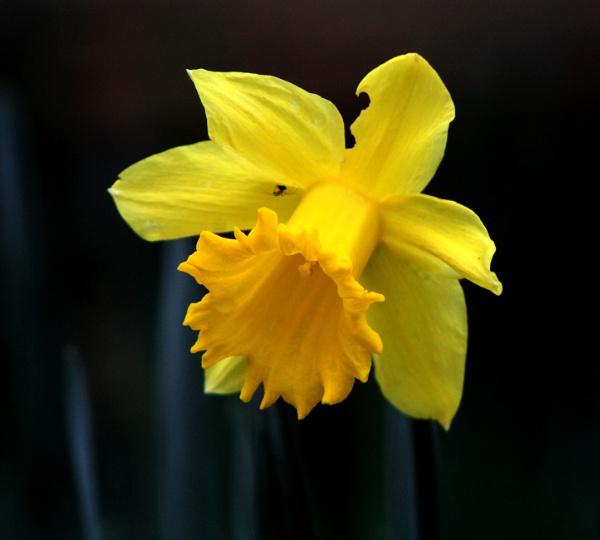 Daffodil by micksurrey