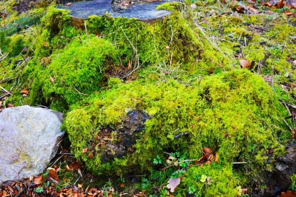 Mossy tree stump by eddiemat
