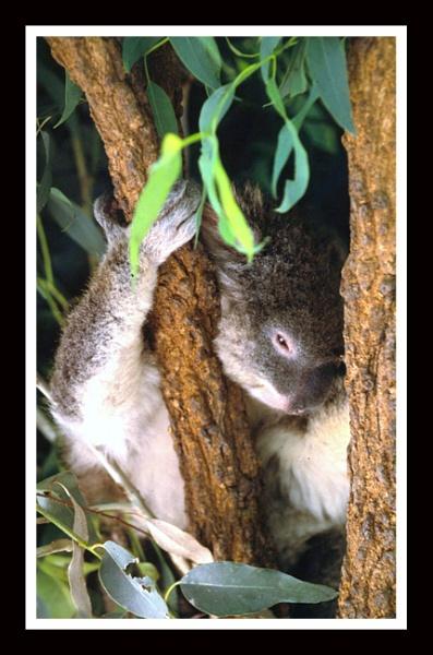 Koala Park