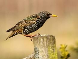 Starling--Sturnus vulgaris.
