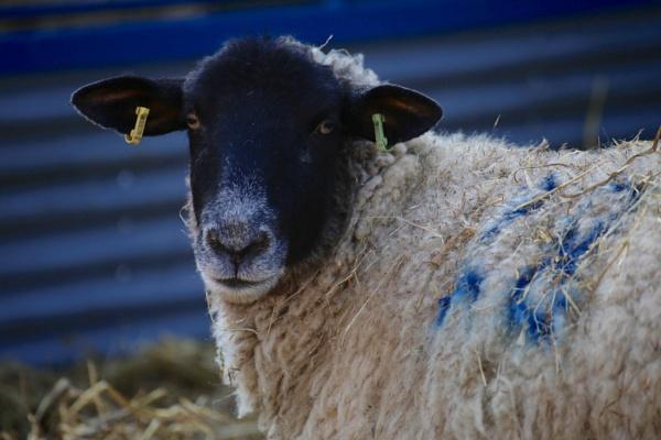 Ewe against Blue by Justine67
