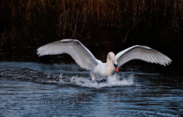 Mute Swan landing by peterjones