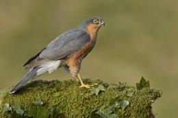 Sparrowhawk.....Male