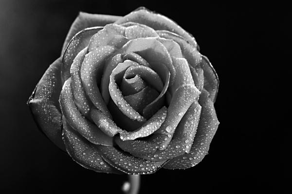 Black Rose by leecool