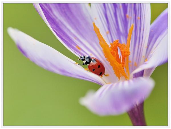 Crocus/Ladybird. by bricurtis