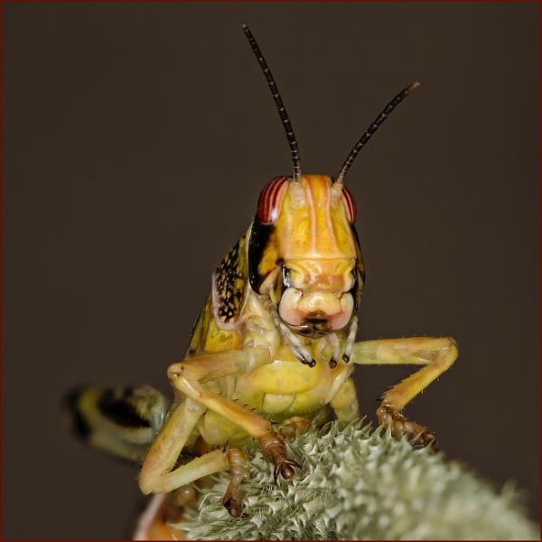 Cricket or Locust by Tony_Baloni