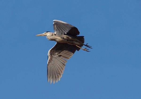 Heron FlyBy by chensuriashi