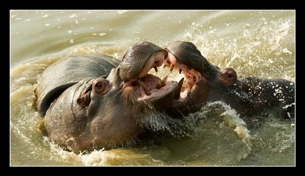 Sparing Hippos by Boagman65