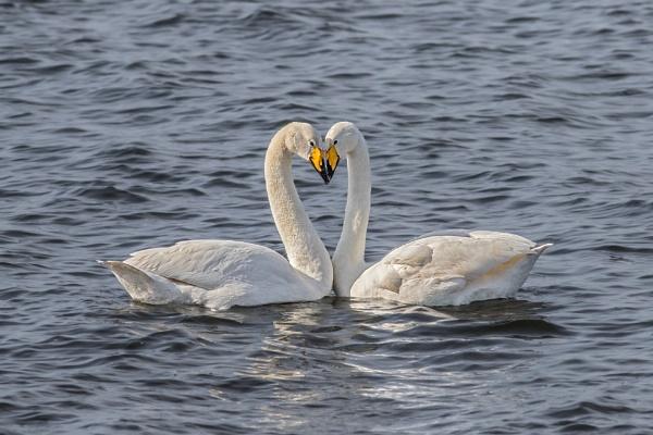 Whooper Swans (Cygnus cygnus) by Ray_Seagrove