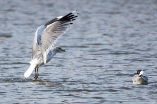 gull in flight by magicman