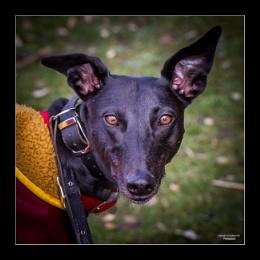 Treacle - Greyhound
