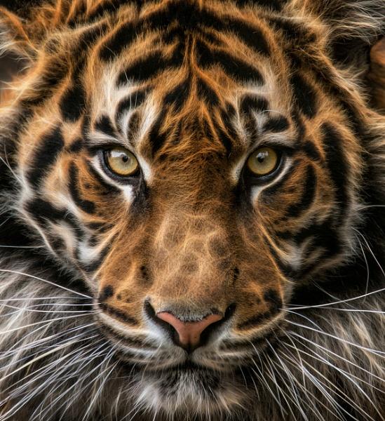 Tiger by puma00065