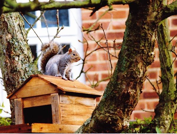 Squirrel by Captsaigon