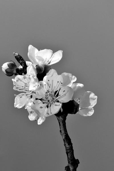 Peach Tree Flower_2 by Laslo