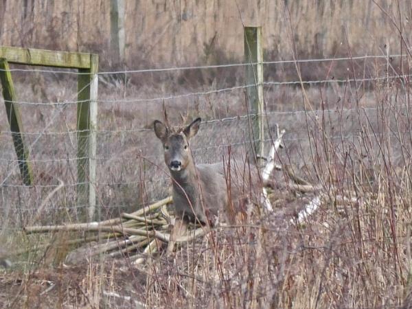 Roe Deer by Ted447