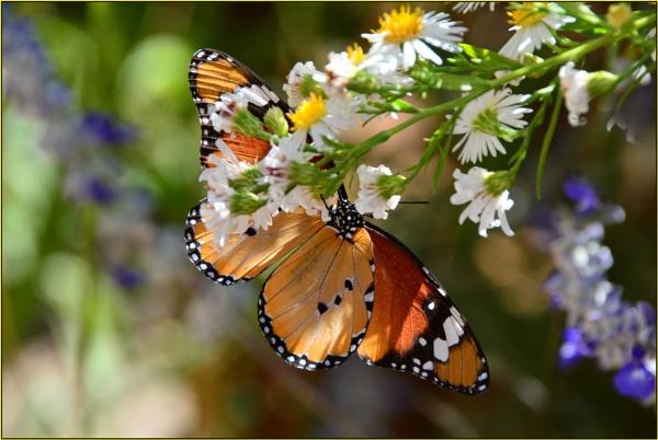 Milkweed butterfly.  Danaus chrysippus aegyptius. by Moebee