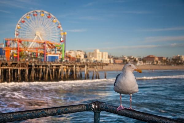 Santa Monica Seagull by evap