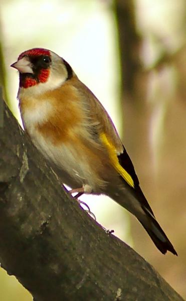 Goldfinch by ttiger8
