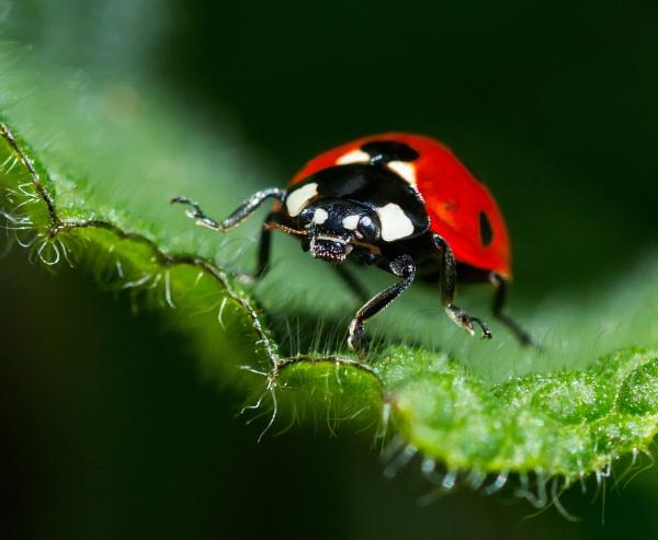 Ladybird by robjames
