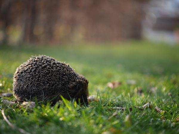 Hedgehog by Schreima