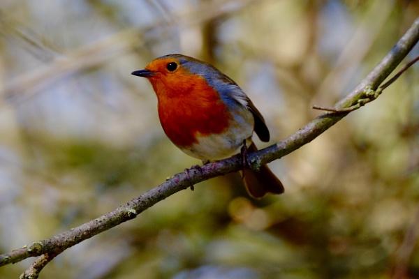 Robin by Aldrin69