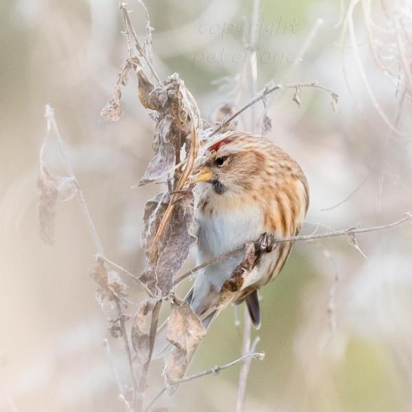 Lesser Redpoll by peterjones