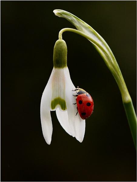 Snowdrop/Ladybird by bricurtis