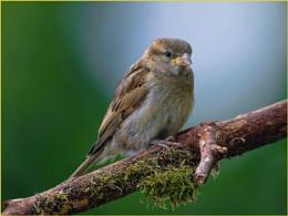 A Baby Sparrow