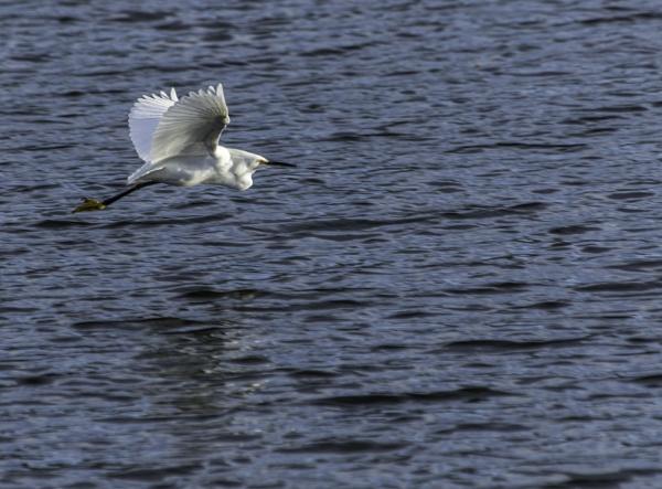 Snowy Egret Flight by pokeyb